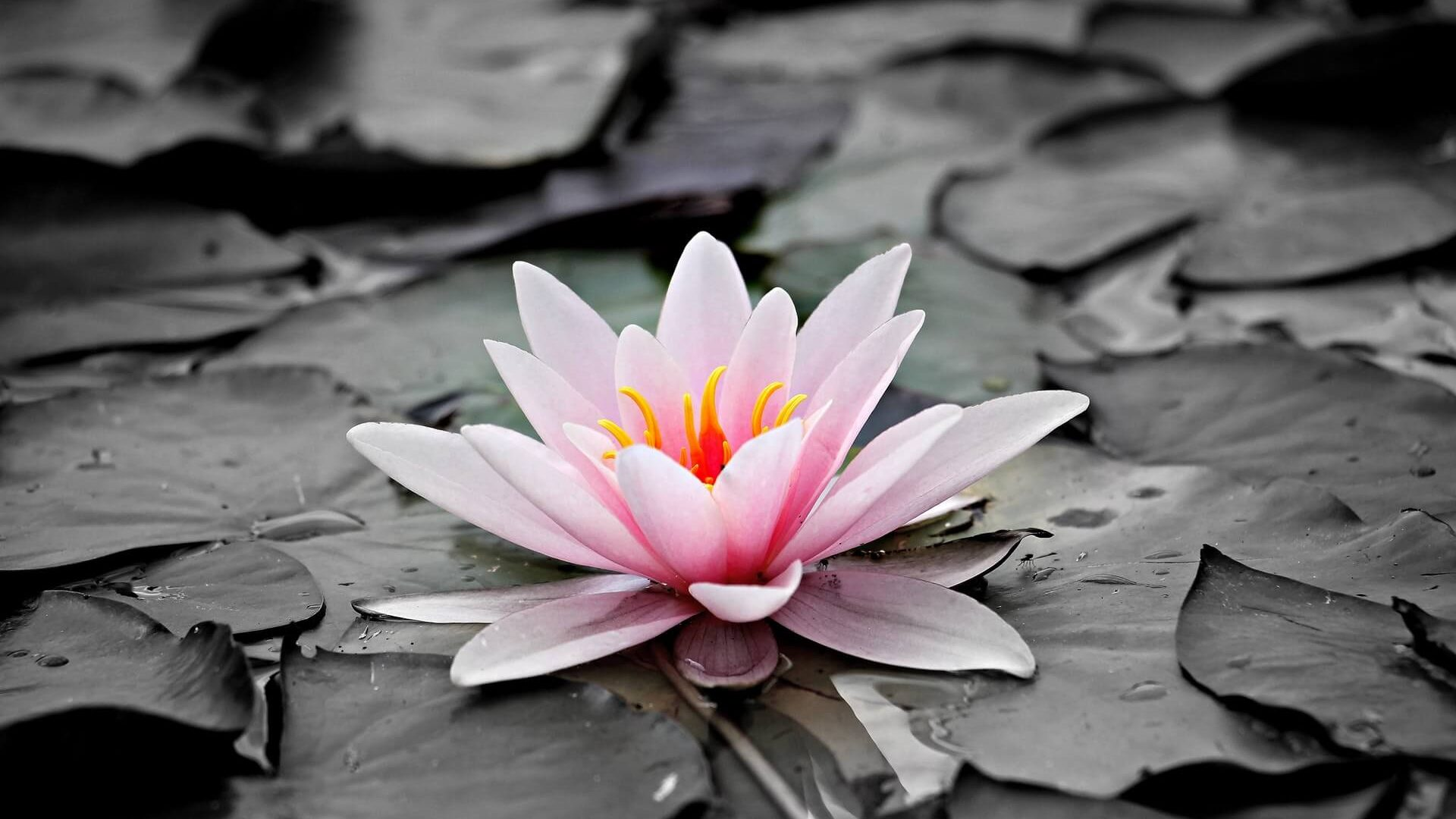 pink and white lotus floer hd wallpaper 1920x1080 - Tendencias Diseño Gráfico 2019